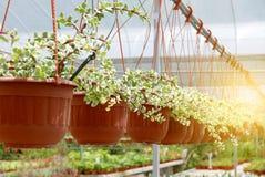 Un gruppo di succulente del cactus in vaso in una fila Immagini Stock