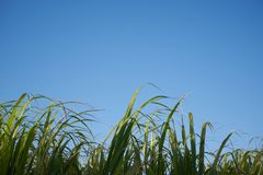 Un gruppo di Sugar Canes 5 fotografia stock