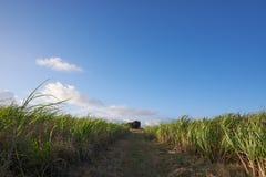 Un gruppo di Sugar Canes 9 immagine stock