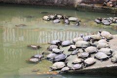 Un gruppo di tartarughe Immagini Stock