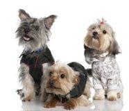 Un gruppo di Terrier di tre Yorkshire (2 anni e Fotografia Stock