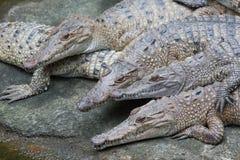 Un gruppo di testa d'acqua dolce dell'alligatore Fotografie Stock