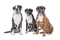 Un gruppo di tre cani del pugile Immagini Stock