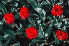 Un gruppo di tulipani rossi nel parco fotografia stock libera da diritti