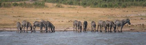 Un gruppo di zebra che beve al waterhole fotografie stock libere da diritti