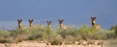 Un gruppo di zebra di montagna di Hartmann Fotografia Stock