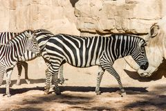 Un gruppo di zebre che pascono in un paesaggio roccioso fotografie stock