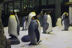 Un gruppo o cammina ondeggiando di re Penguins a Sydney Aquarium Immagini Stock