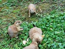 Un gruppo pericoloso degli scoiattoli a terra artici Fotografie Stock