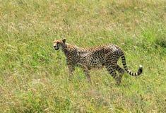 Un guépard sauvage dans la savane photographie stock