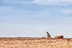 Un guépard se reposant sur l'horizon Photographie stock