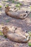 Un guépard se trouvant au repos photographie stock