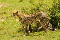 Un guepardo Imágenes de archivo libres de regalías