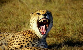 Un guepardo bosteza y muestra sus dientes Fotografía de archivo