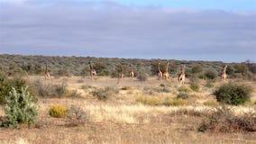 Un guepardo da caza a una manada de la máquina de hilar aka de jirafas almacen de video