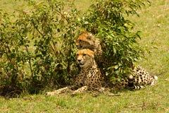 Un guepardo de la madre con su bebé imagenes de archivo