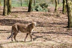 Un guepardo en el más forrest Fotos de archivo