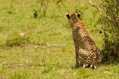 Un guepardo en el Masai Mara imagen de archivo libre de regalías