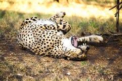 Un guepardo está jugando Imagen de archivo