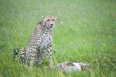Un guepardo y su matanza Imágenes de archivo libres de regalías
