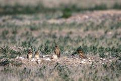 Un gufo Burrowing adulto e tre bambini stanno fuori della loro tana del nido in Colorado del sud immagini stock libere da diritti