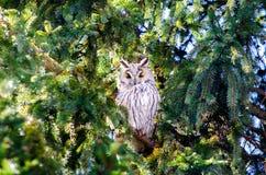 Un gufo comune si è appollaiato su una vista laterale dell'albero Fotografia Stock Libera da Diritti