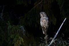 Un gufo di Ural si siede su un bastone al bordo della foresta Fotografia Stock