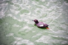 Un guillemot de paloma est? nadando cerca del Lonsdale Quay imagen de archivo libre de regalías