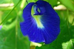 Un guisante de mariposa púrpura del color imagen de archivo