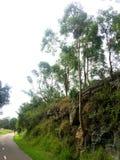 Un gumtree australien s'élevant hors d'une roche près d'un chemin de piéton et de vélo photos libres de droits
