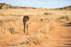 Un guépard africain sur le mouvement Image stock