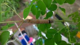 Un gusano del rábano picante Foto de archivo libre de regalías