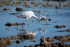 Un héron blanc chassant sur la lagune Grand héron de héron blanc adulte sur la chasse en parc naturel d'Albufera, Valence normal photos stock
