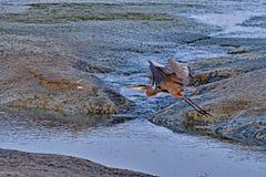 Un héron bleu Photographie stock libre de droits