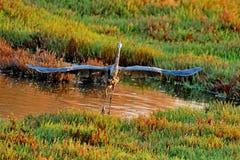 Un héron bleu Photographie stock
