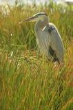 Un héron bleu attendant dans l'herbe verte couvre de chaume images stock