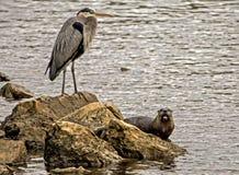 Un héron de Big Blue se tient au-dessus d'une loutre de rivière le long des roches Images stock