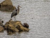 Un héron de Big Blue se tient au-dessus d'une loutre de rivière le long des roches Photos libres de droits