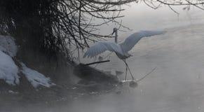 Un héron de grand blanc en vol l'ukraine 2018 image libre de droits