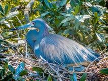 Un héron de mère sur le nid image stock