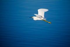 Un héron de Milou volant Image libre de droits