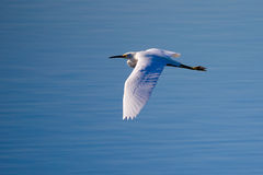 Un héron de Milou volant Images libres de droits
