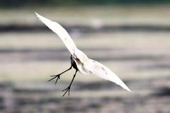Un héron de vol Photographie stock