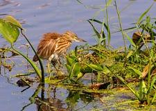 Un héron et ce d'étang est réflexion Photographie stock libre de droits