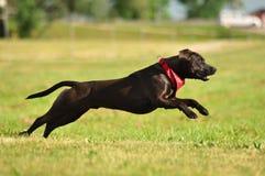 Un híbrido Staffordshire Terrier americano disfruta de verano Imagen de archivo