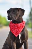 Un híbrido Staffordshire Terrier americano en verano Fotografía de archivo