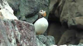 Un habitat del pinguino della fauna selvatica stock footage