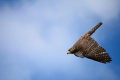 Un halcón foto de archivo