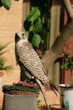 Un halcón Imagen de archivo libre de regalías