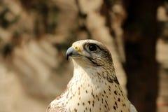 Un halcón Fotos de archivo